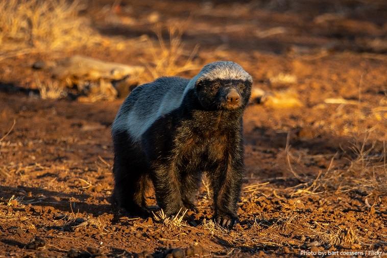 honey-badger-2