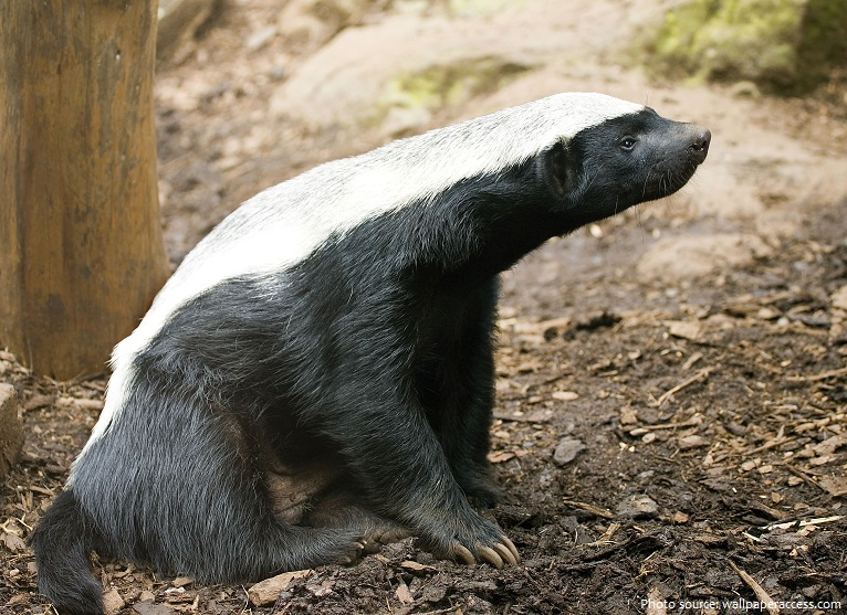 honey-badger-4