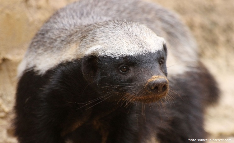 honey-badger-5