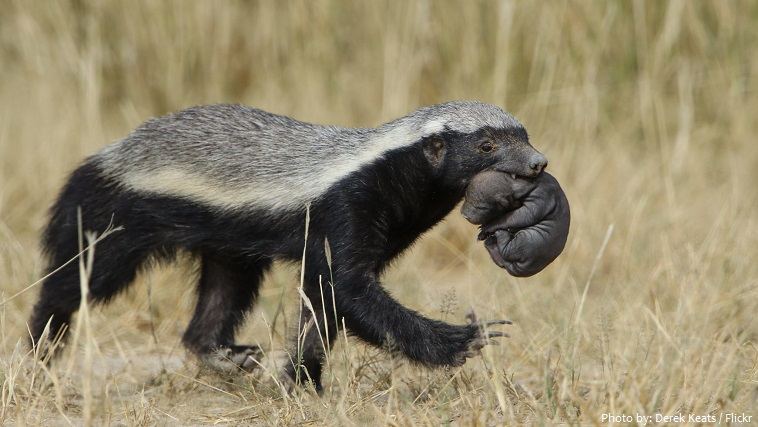 honey badger mother and cub