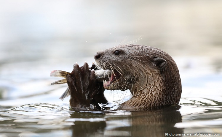 north-american-river-otter-3