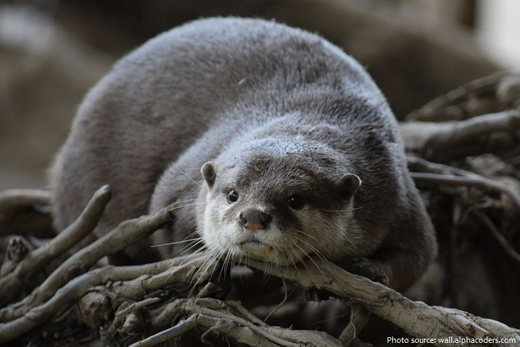 north-american-river-otter-4