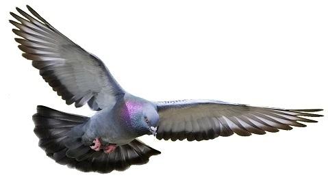 rock-dove-4