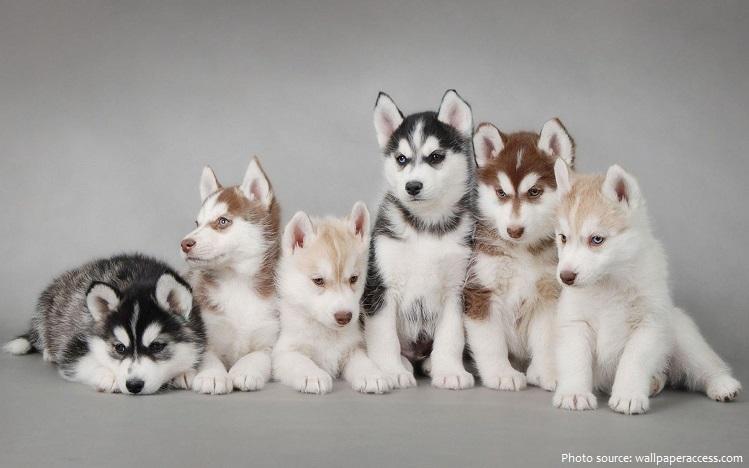 siberian-huskies-2