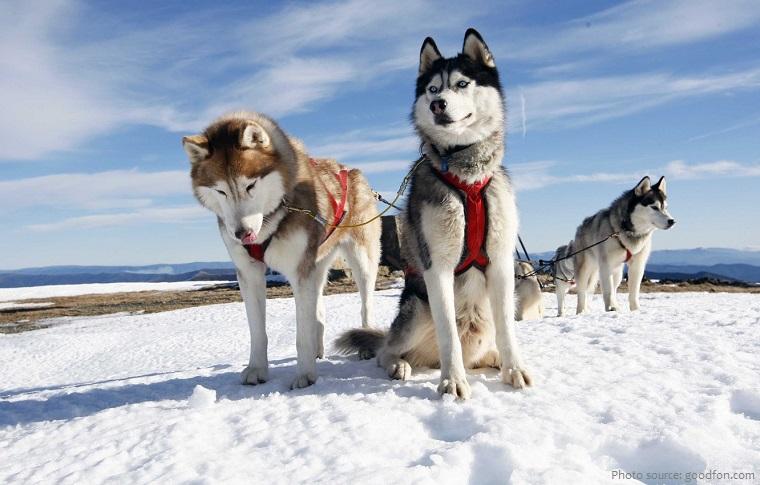 siberian-huskies-3