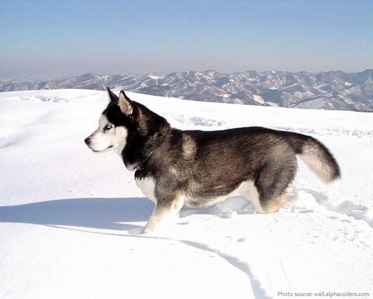 siberian-husky-3