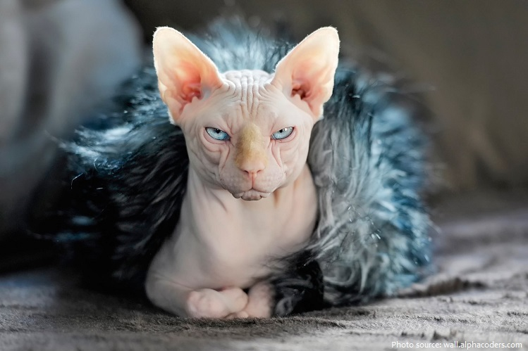 sphynx-cat-2