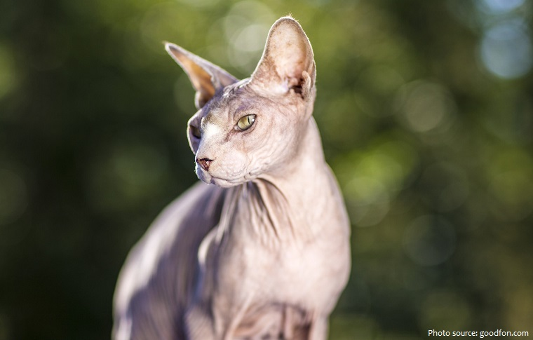 sphynx-cat-3
