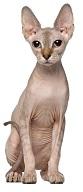 sphynx-cat-5