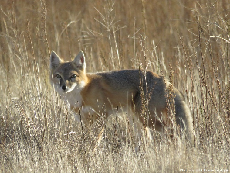 swift-fox-2