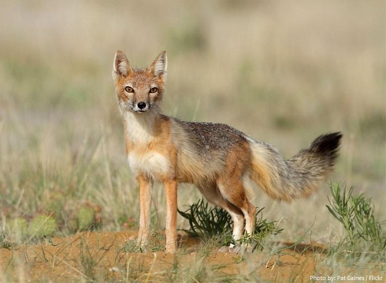 swift-fox-4