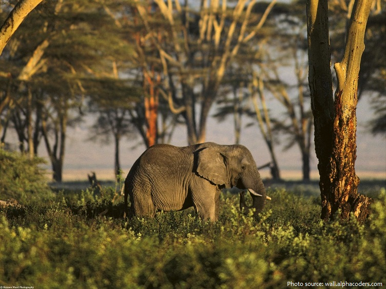 african-forest-elephant-2