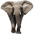 african-forest-elephant-3