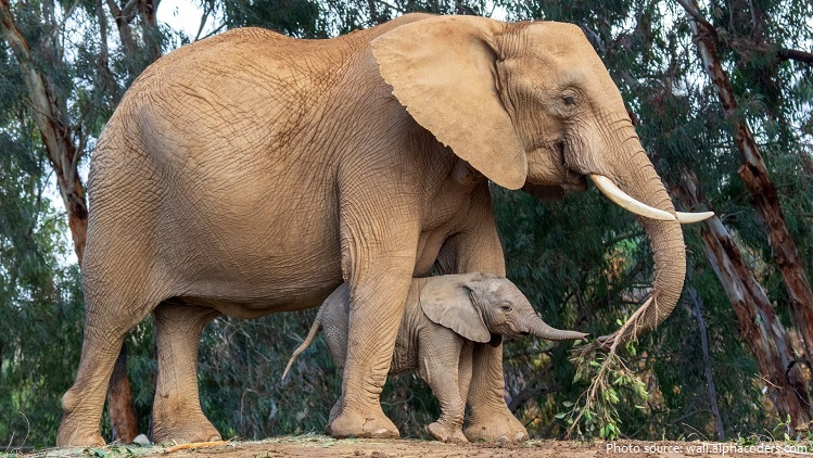 african forest elephant mother and calf
