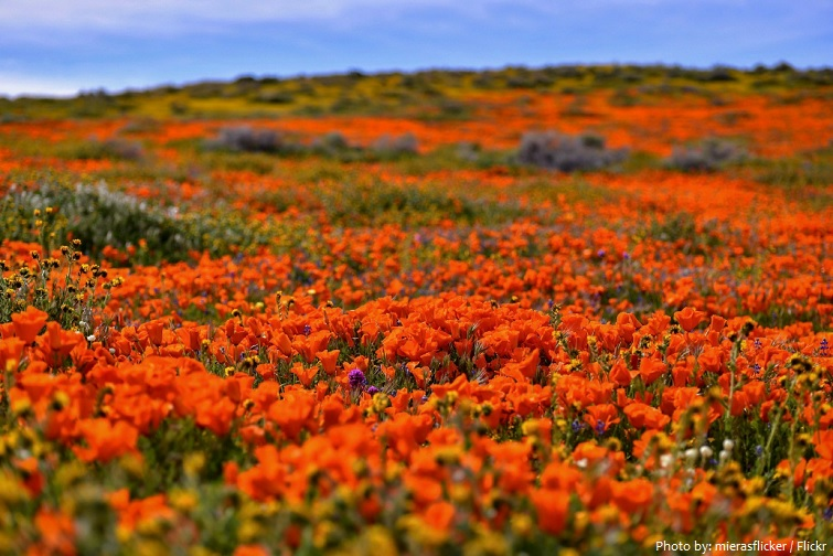 antelope valley poppy reserve
