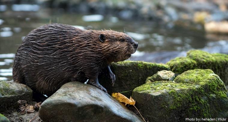 beaver-2