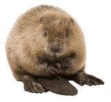 beaver-5