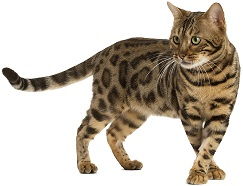 bengal-cat-5