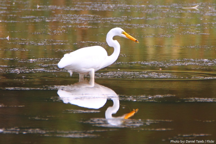 great-egret-2