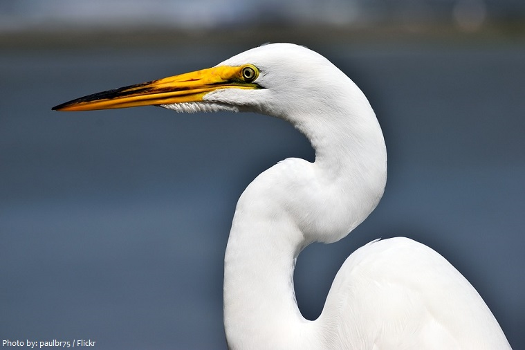 great-egret-4