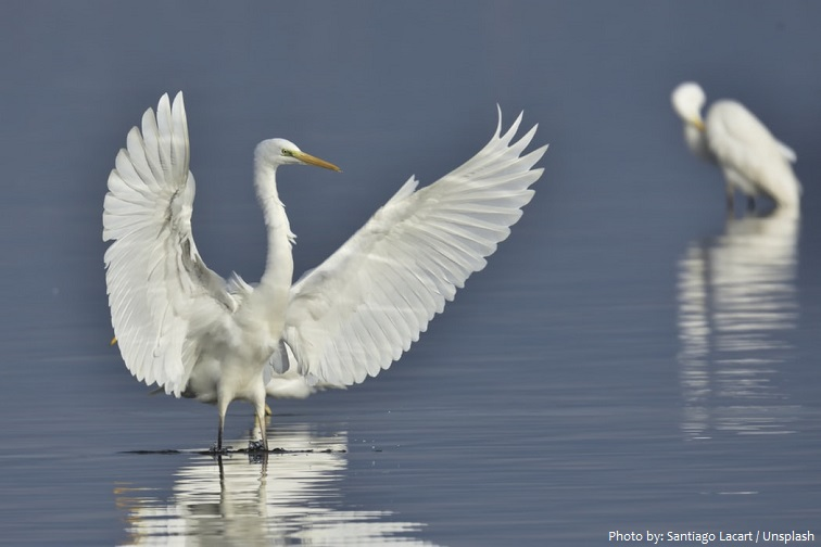 great-egrets-2