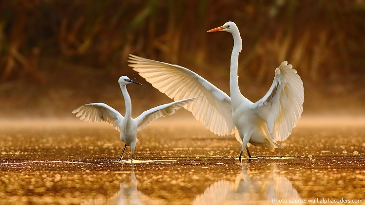 great-egrets-3