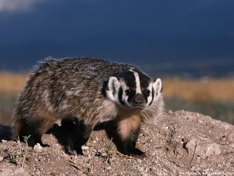american-badger-3