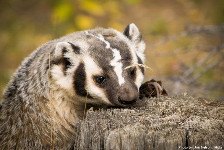 american-badger-4