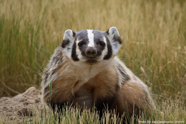 american-badger-5