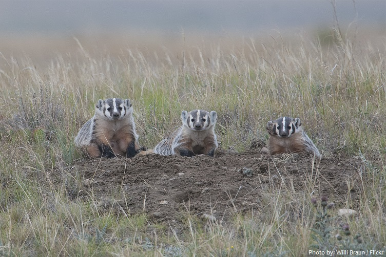 american badger youngs