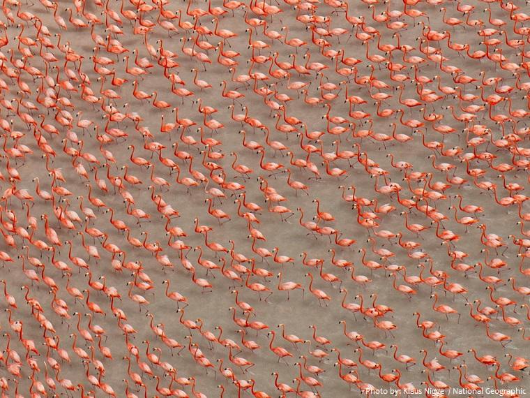 american-flamingos-2