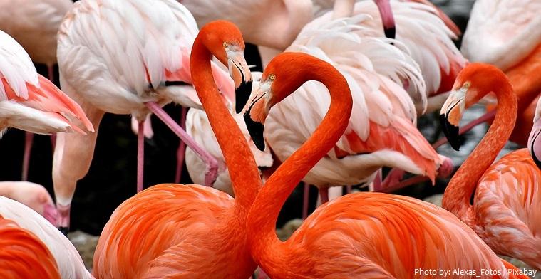 american-flamingos-3
