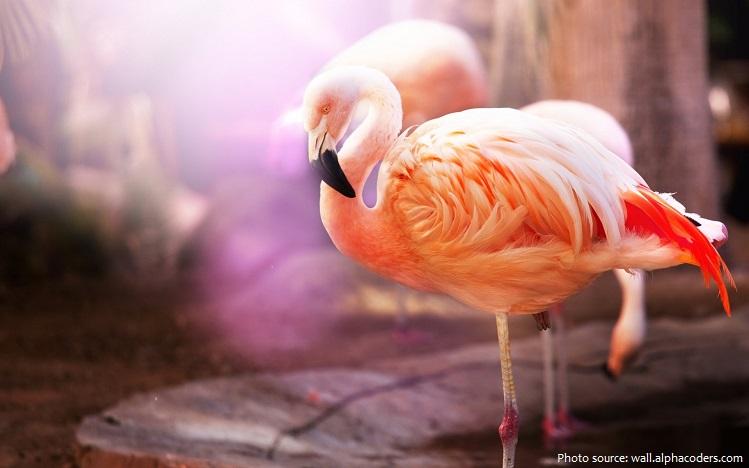 american-flamingos-4