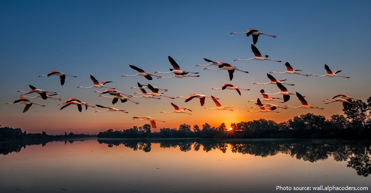 american-flamingos-5