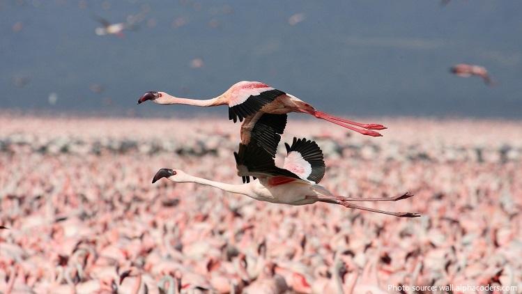 american-flamingos-6