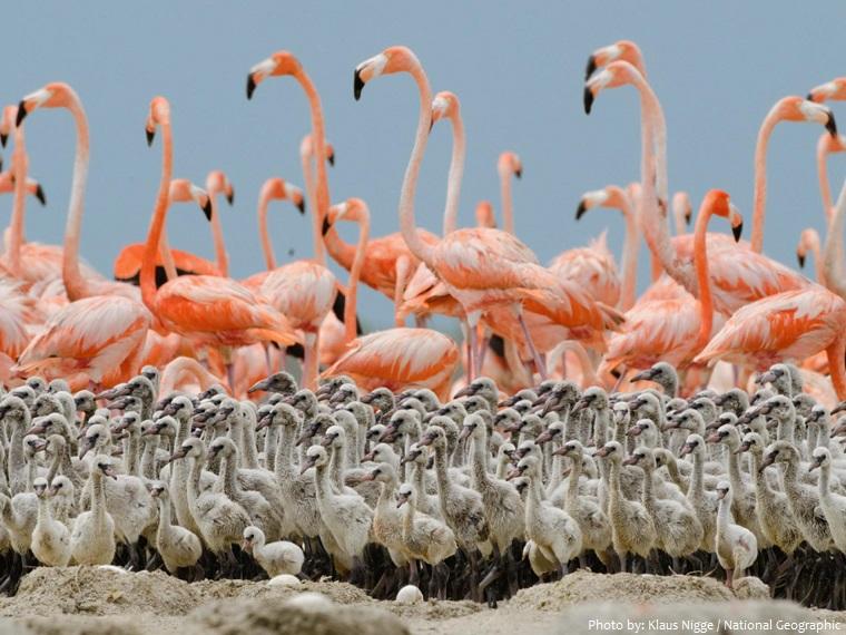american flamingos chicks