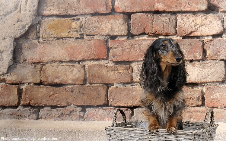 dachshund-3