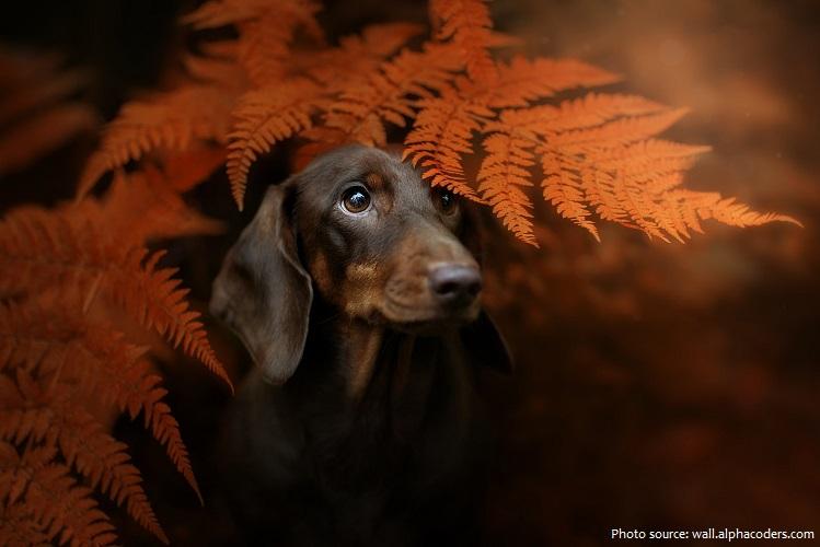 dachshund-5