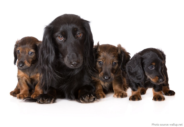 dachshunds-2