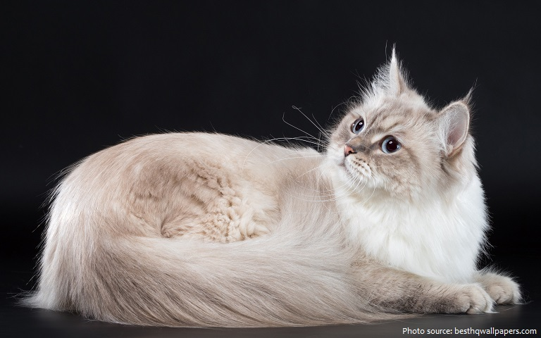 siberian-cat-3