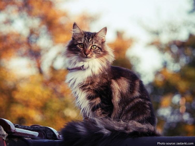 siberian-cat-5