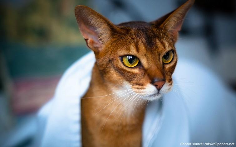abyssinian-cat-2