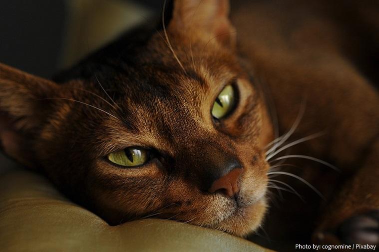 abyssinian-cat-3