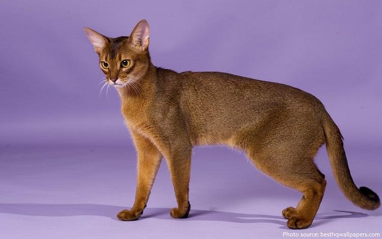 abyssinian-cat-4