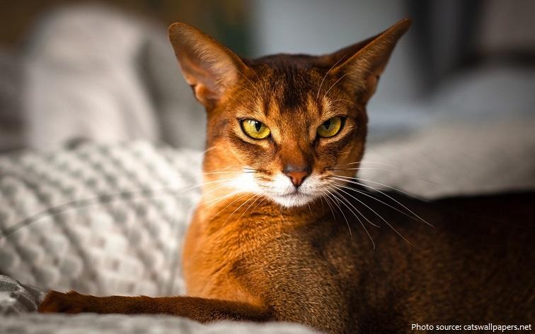 abyssinian-cat-5
