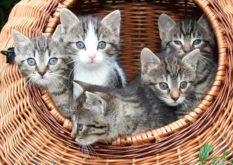 americanshorthair kittens