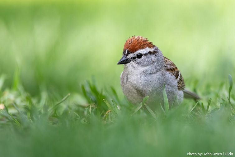 chipping-sparrow-2