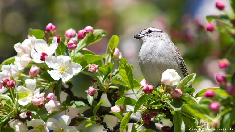 chipping-sparrow-5