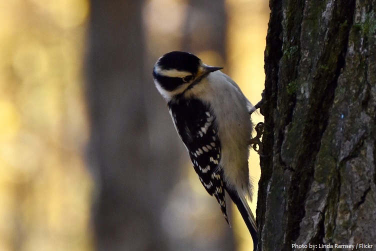 downy-woodpecker-2