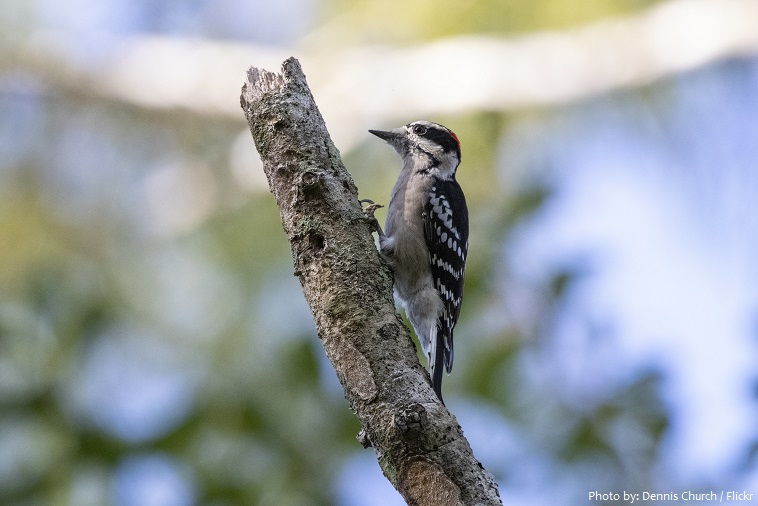 downy-woodpecker-3
